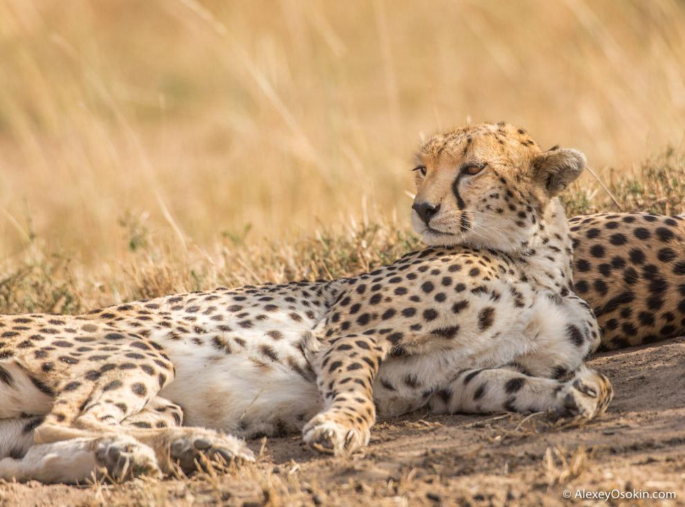 Gepardи