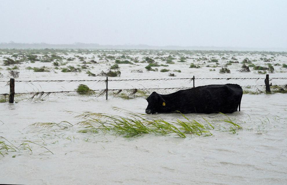 Бедная корова сражается с наводнением