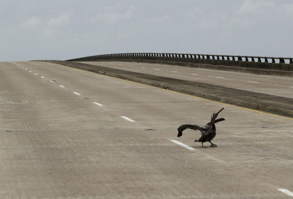 Раненый пеликан просит о помощи на шоссе в штате Техас