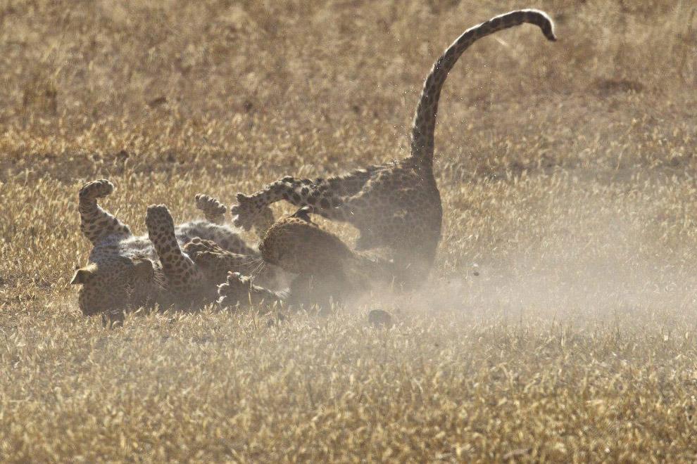 бій леопардів