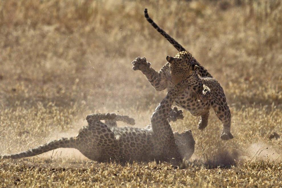 Бой леопардов