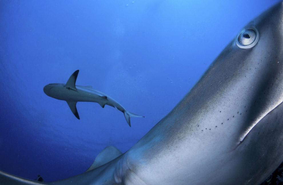 Застенчивые карибские рифовые акулы