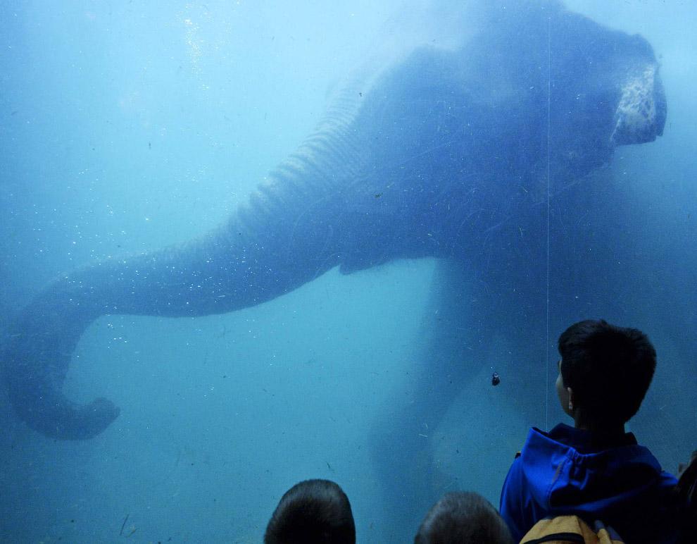 Слон плавает в Лейпцигском зоопарке в Германии