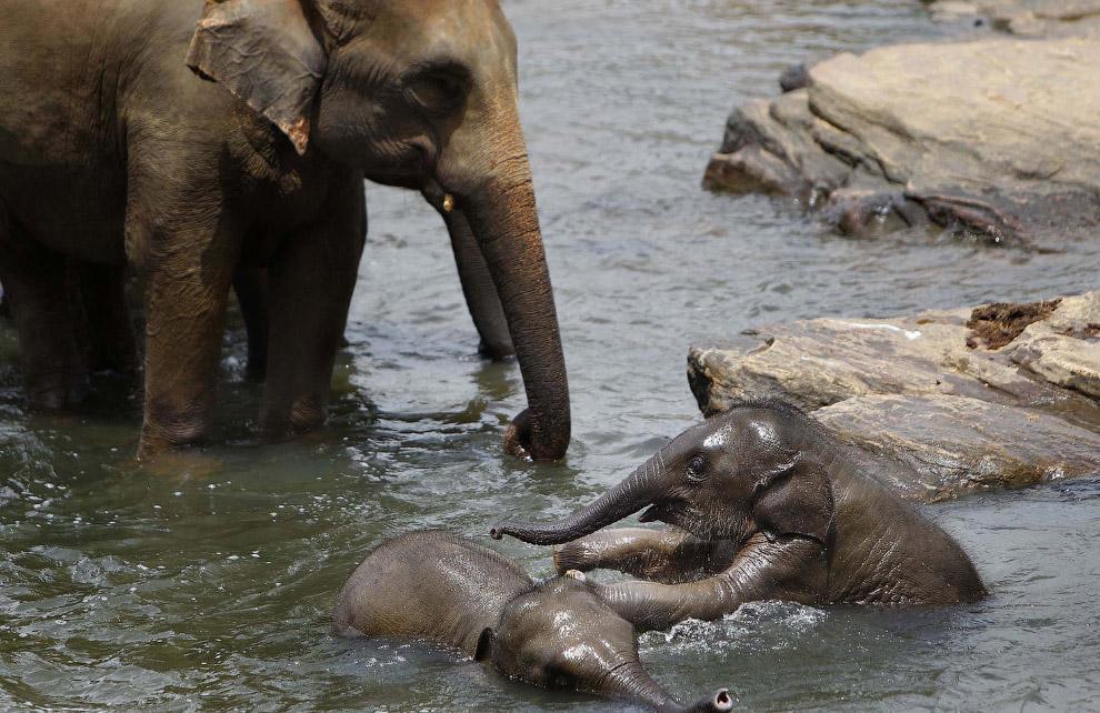 Слоновий приют в Шри-Ланке