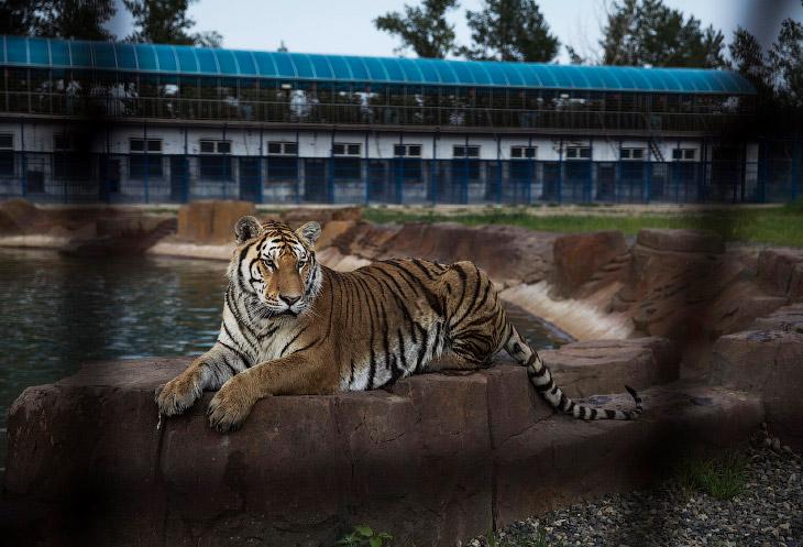 Тигриная ферма в Китае