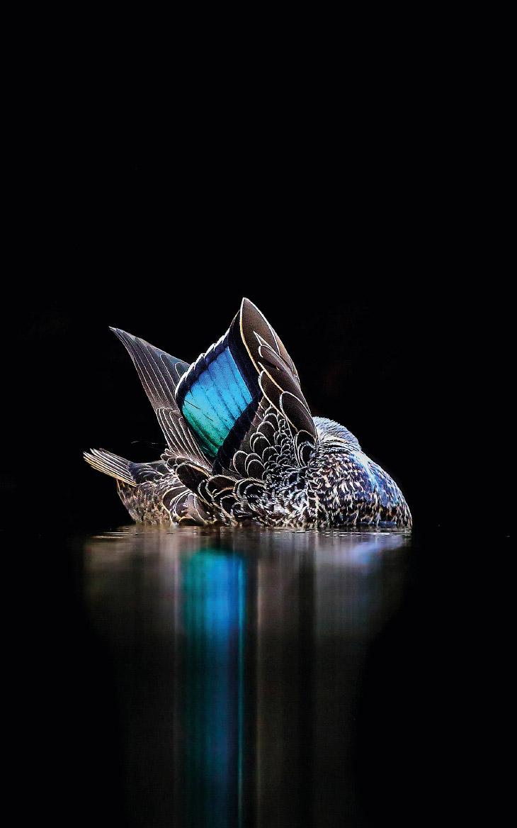 Серая кряква на озере в парке Гарви, Перт, западная Австралия