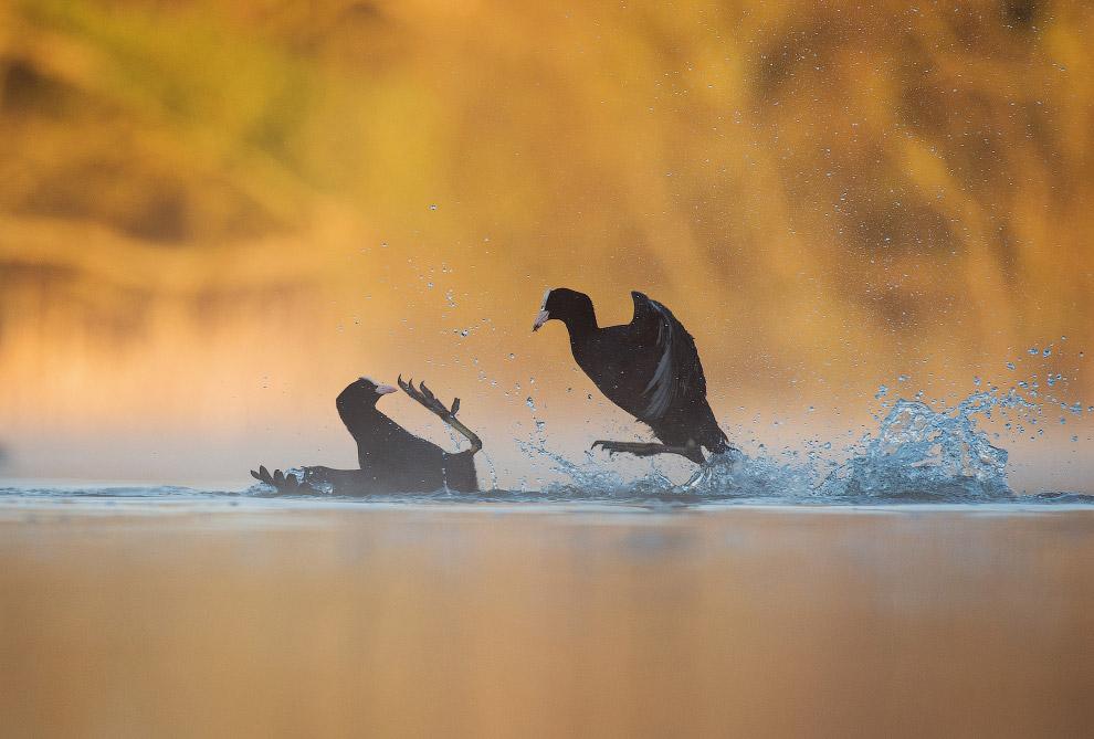 Самцы лысухи сражаются за территорию