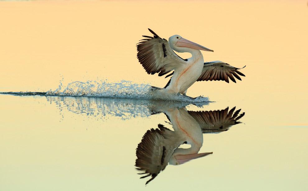 Идеальная посадка пеликана