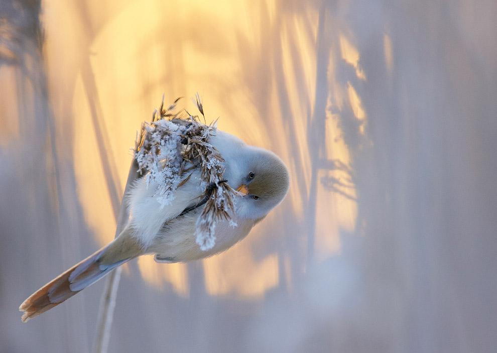 Усатая синица на фоне заходящего зимнего солнца.