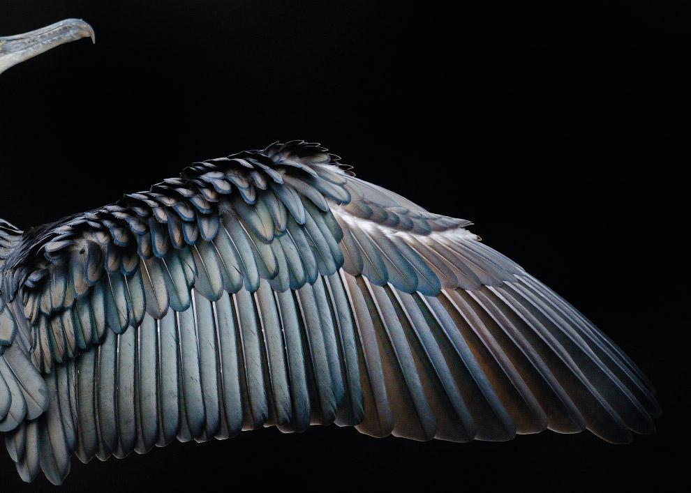 Баклан сушит свои крылья в лондонском Гайд-парке.