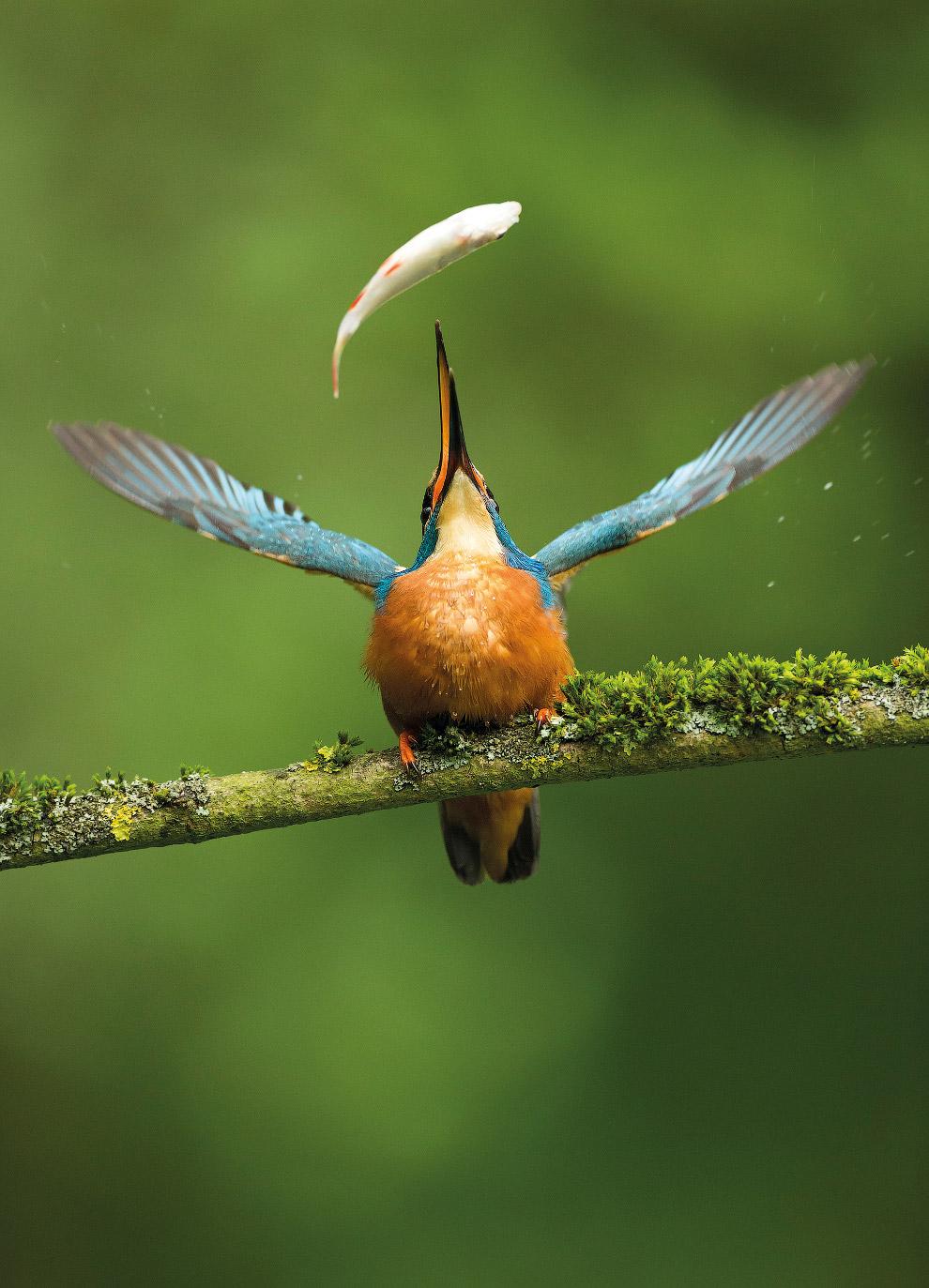 Зимородок играется с пойманной рыбкой , Саффолк, Великобритания