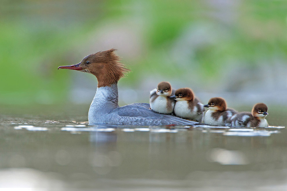Самка большого крохаля со своими малышами, Нортумберленд, Великобритания