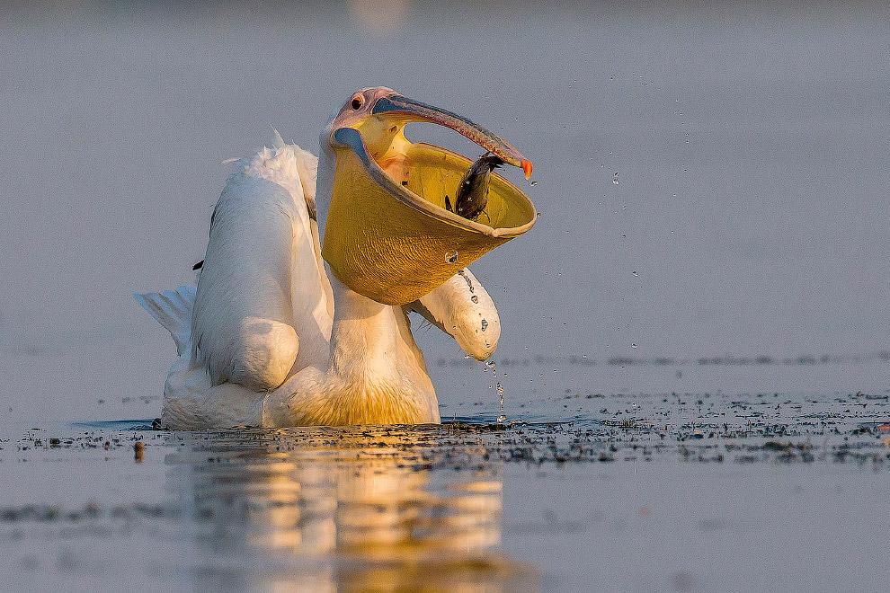 Вот такой вот рот у розового пеликана, Дунай, Румыния