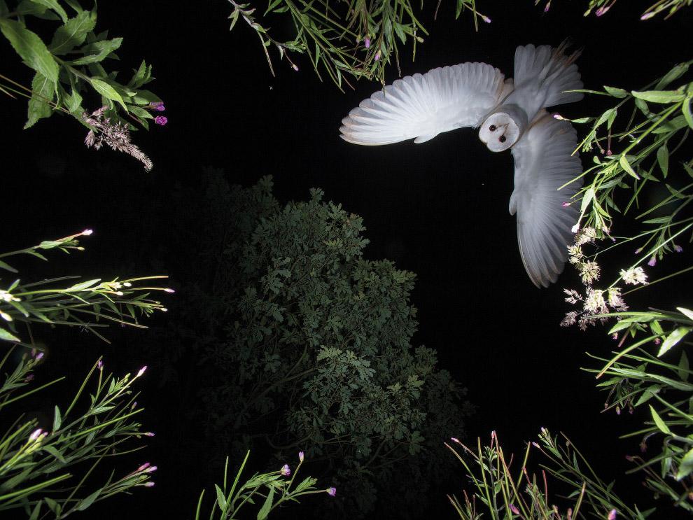 Сипуха в лесу под Виганом, Великобритания