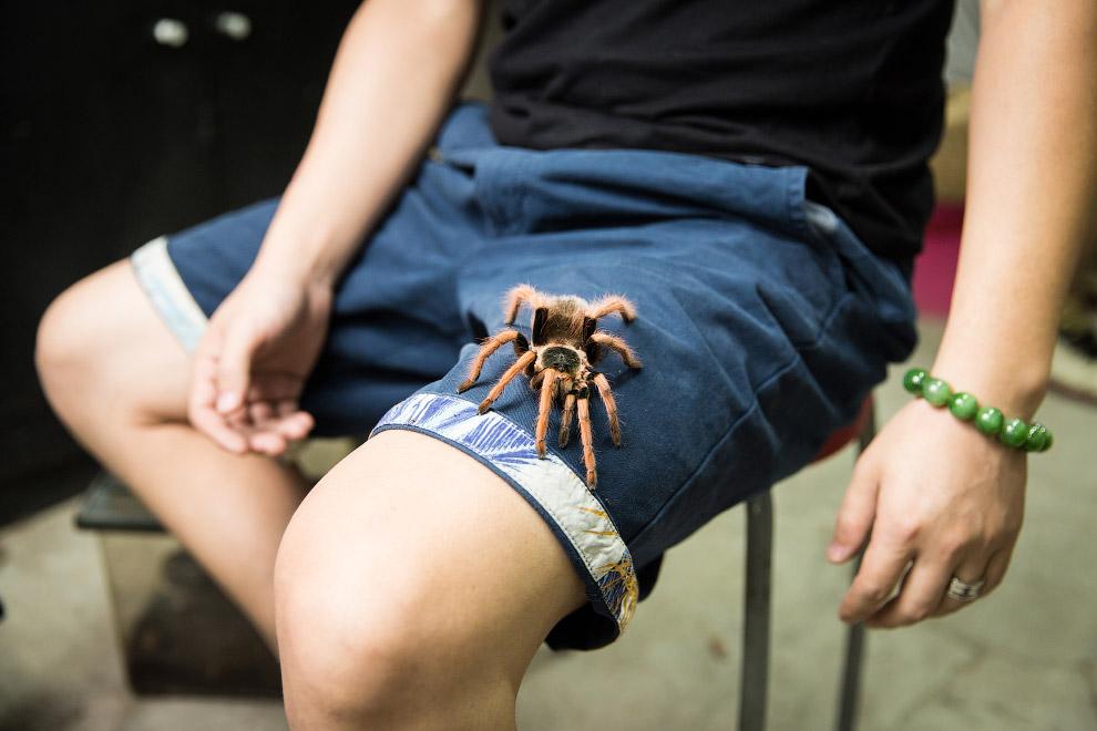 Мохнатый паук — птицеед