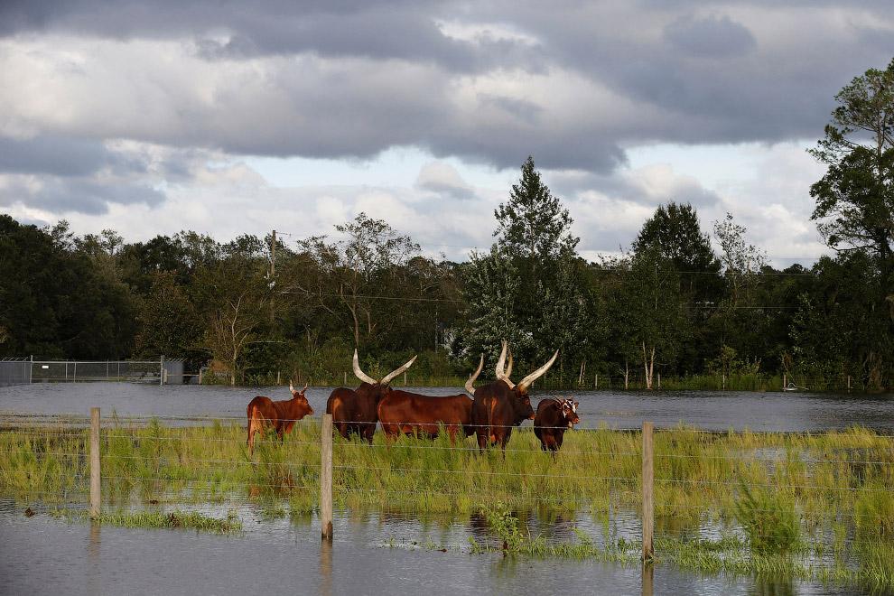 Роскошные флоридские коровы и наводнение
