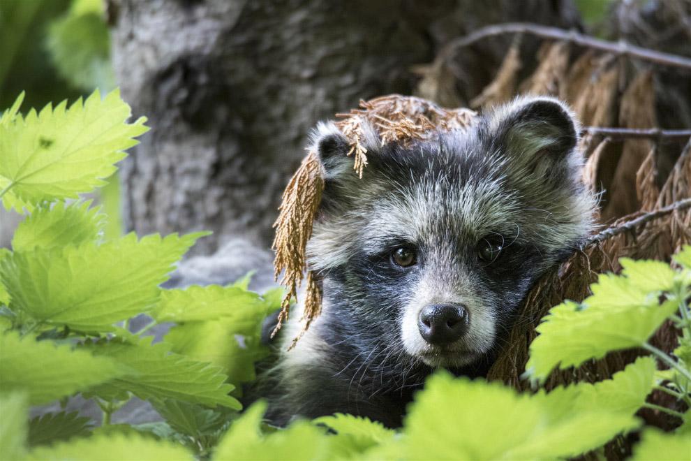 Енотовидная собака прячется в листве