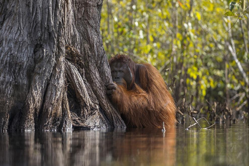 Орангутан в Национальном парке Танджунг в Индонезии