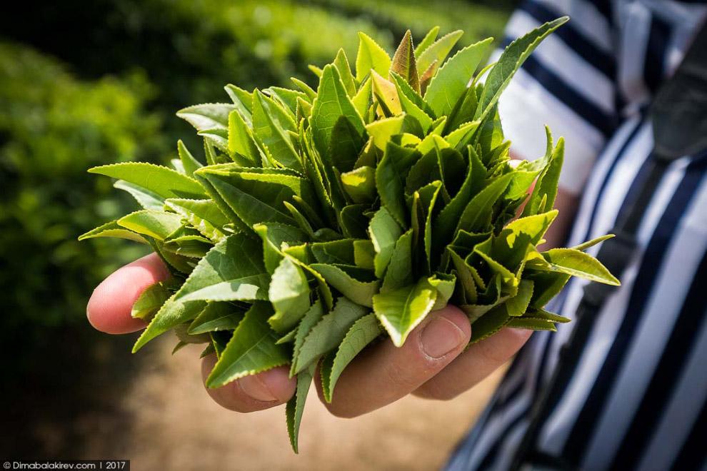 Чайные плантации в Сочи