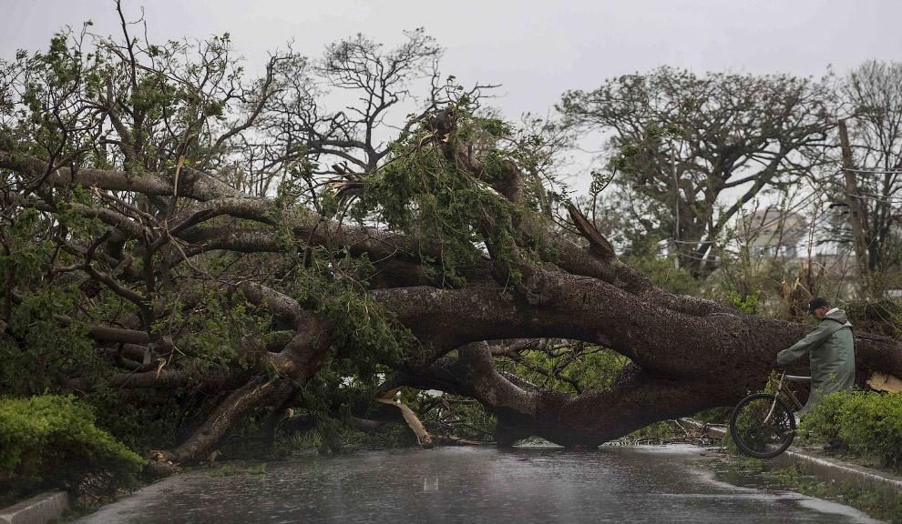 Дерево против урагана «Ирма»