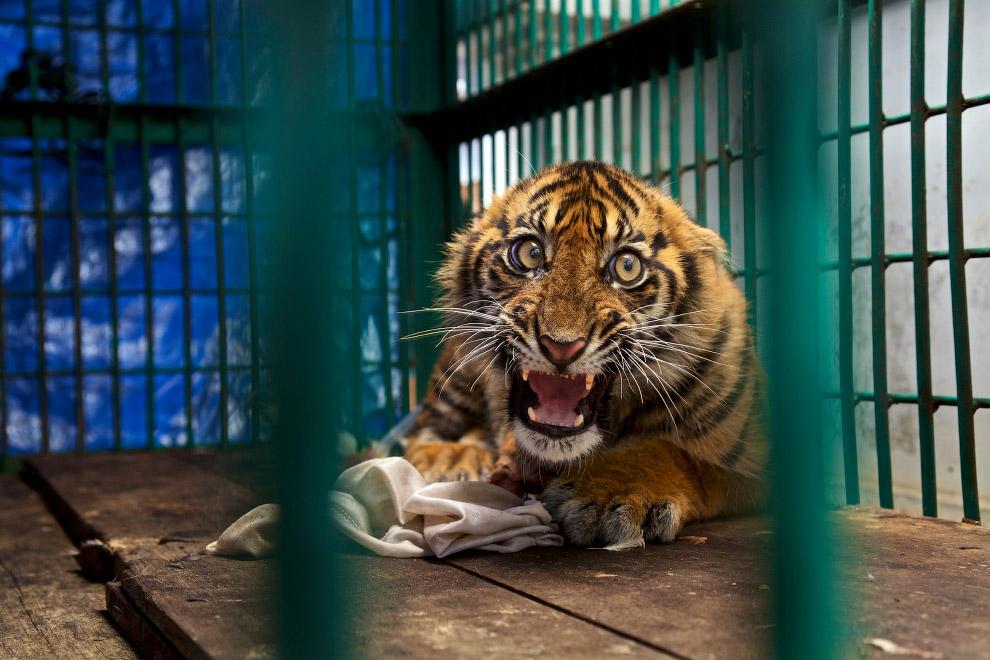 Суматранский тигренок