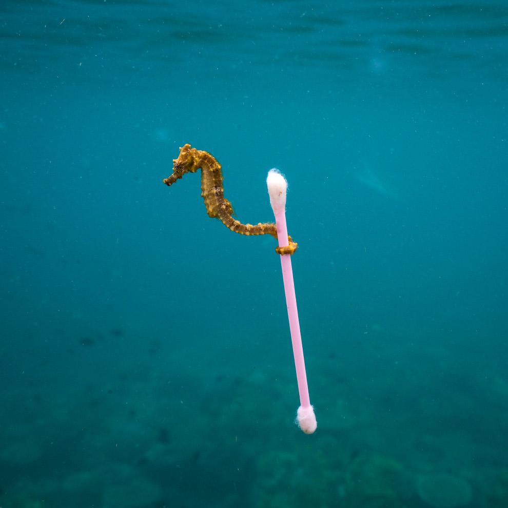 Морской конек и ватная палочка