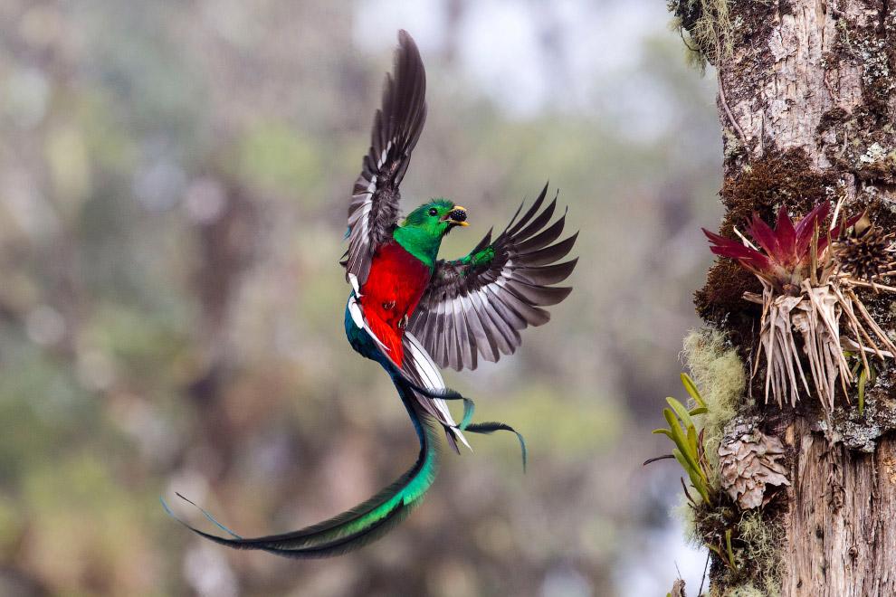 Квезаль — самая крупная птица отряда трогонообразных