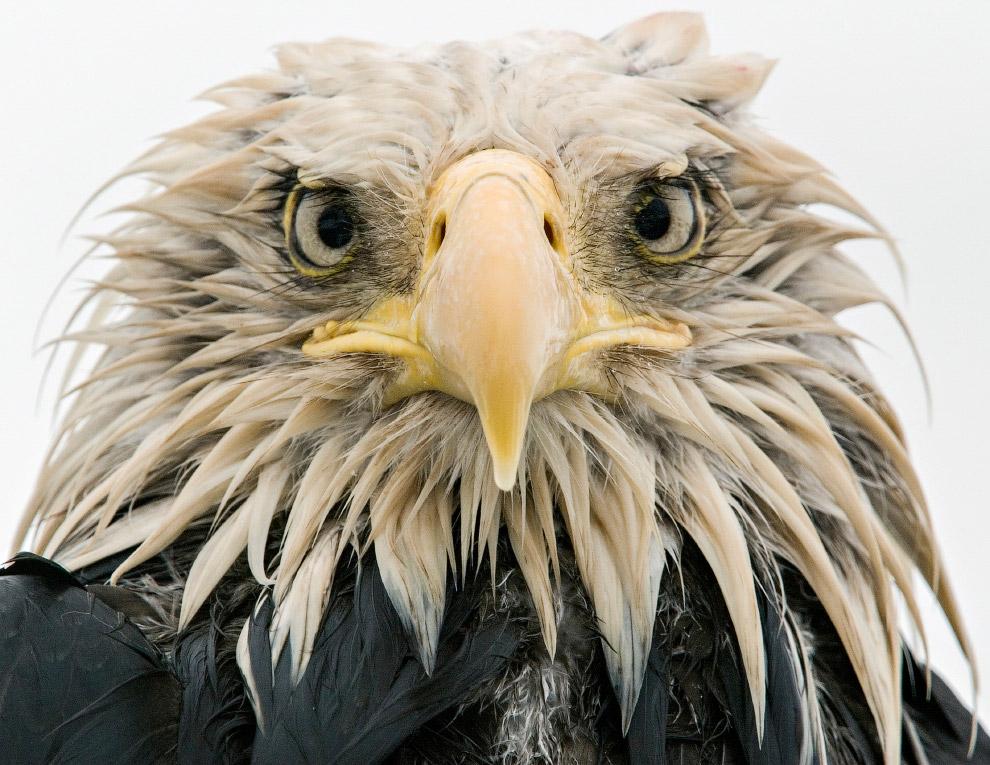 Портрет лысого орла