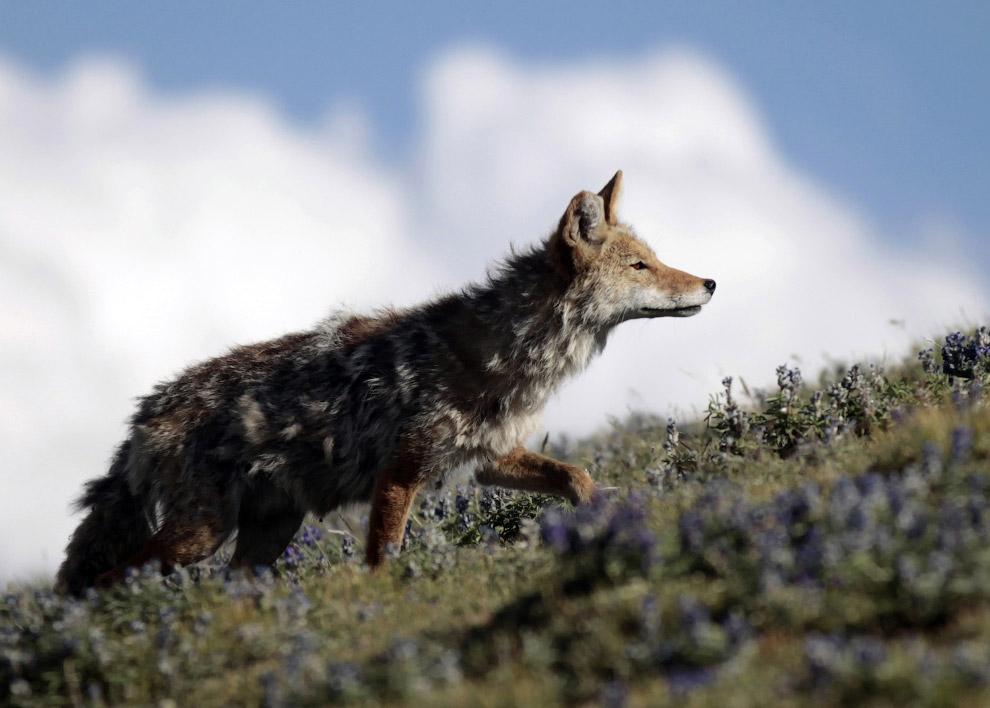 Местный житель – койот