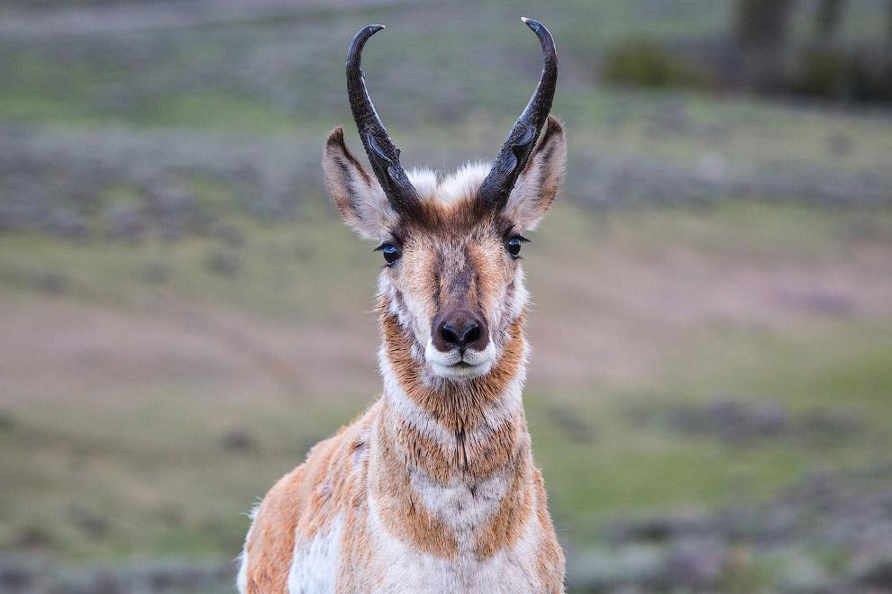 Вилорог — жвачное животное и самое древнее из копытных Северной Америки