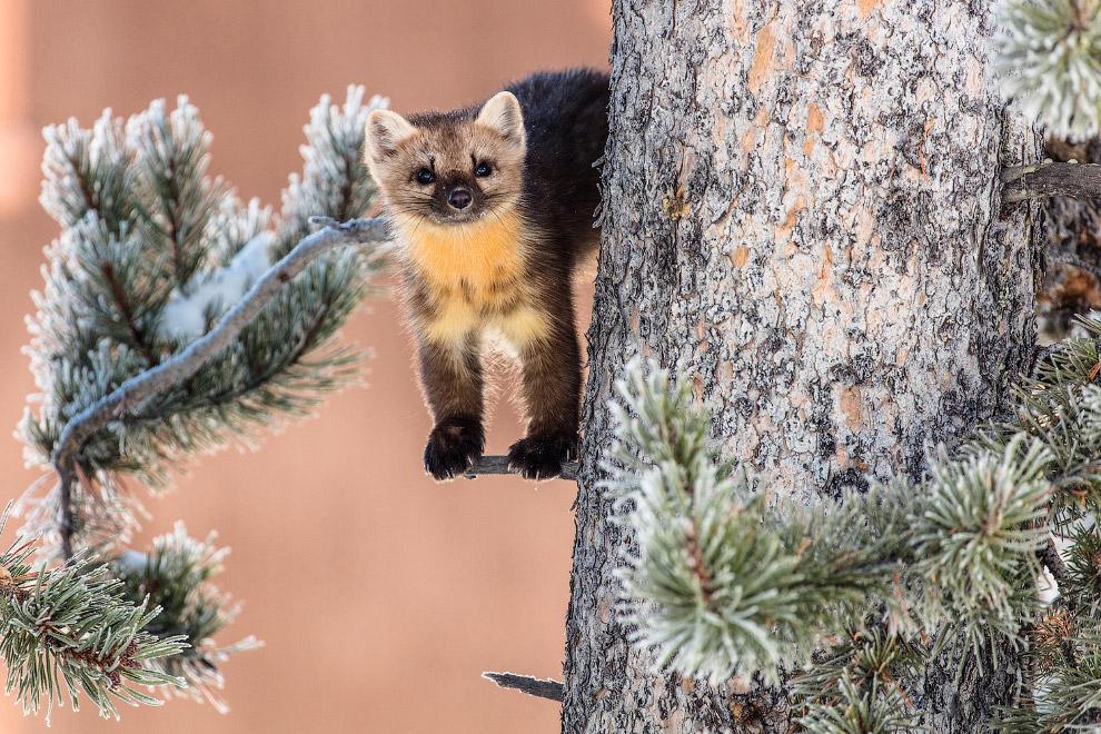 Куница на дереве