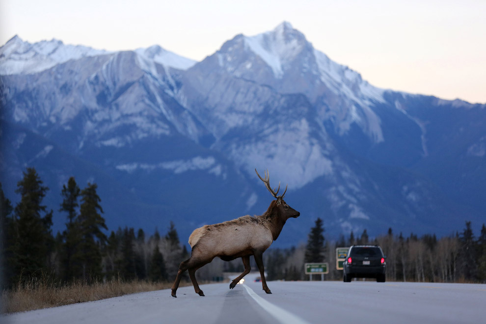 Лось в провинции Альберта, Канада