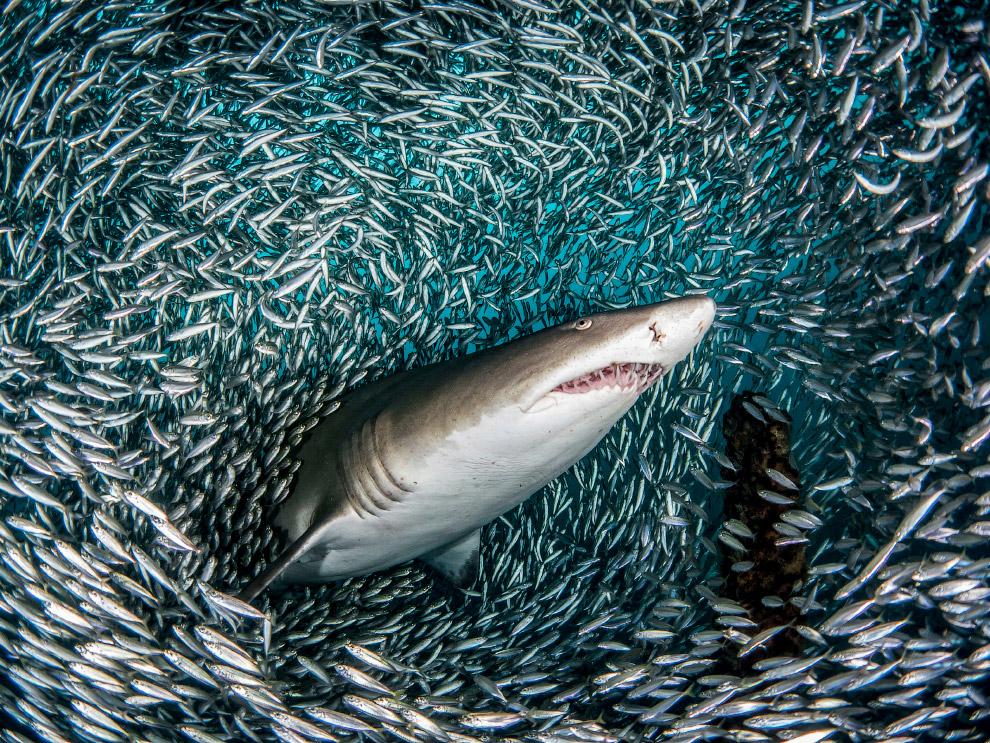 """""""Тоннель"""" из рыб и тигровая акула"""