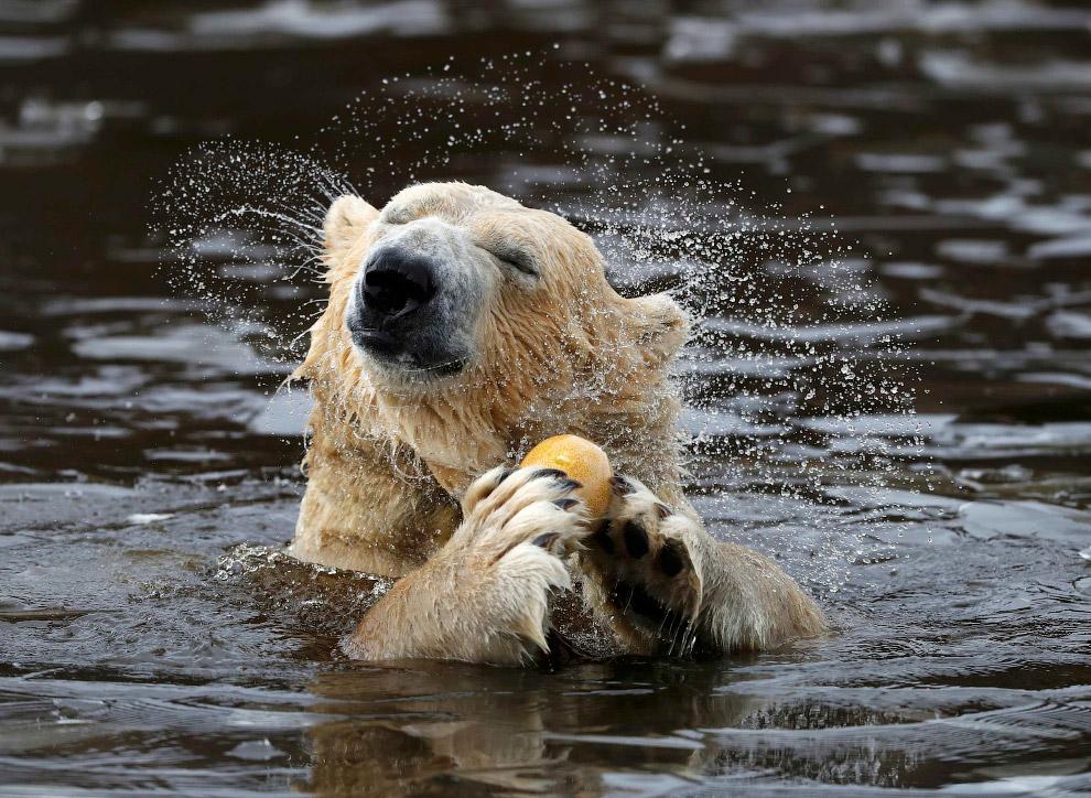 Хорошо и прохладно. Белый медведь в парке дикой природы в Великобритании