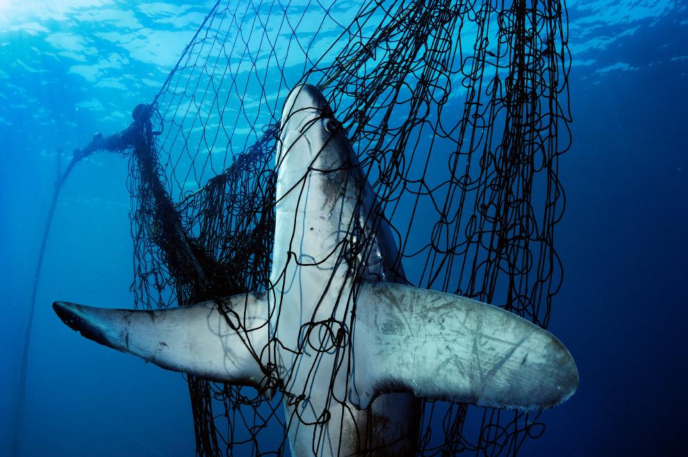 Лисья акула в сетях
