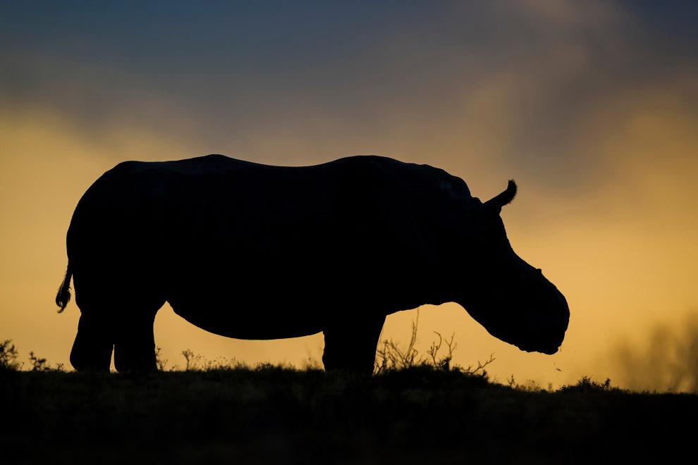 Носорог, которому браконьеры отпилили рог