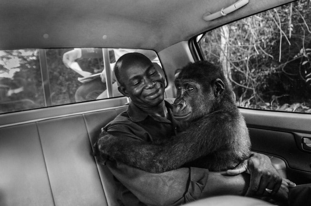 Осиротевшая из-за браконьеров горилла в Камеруне