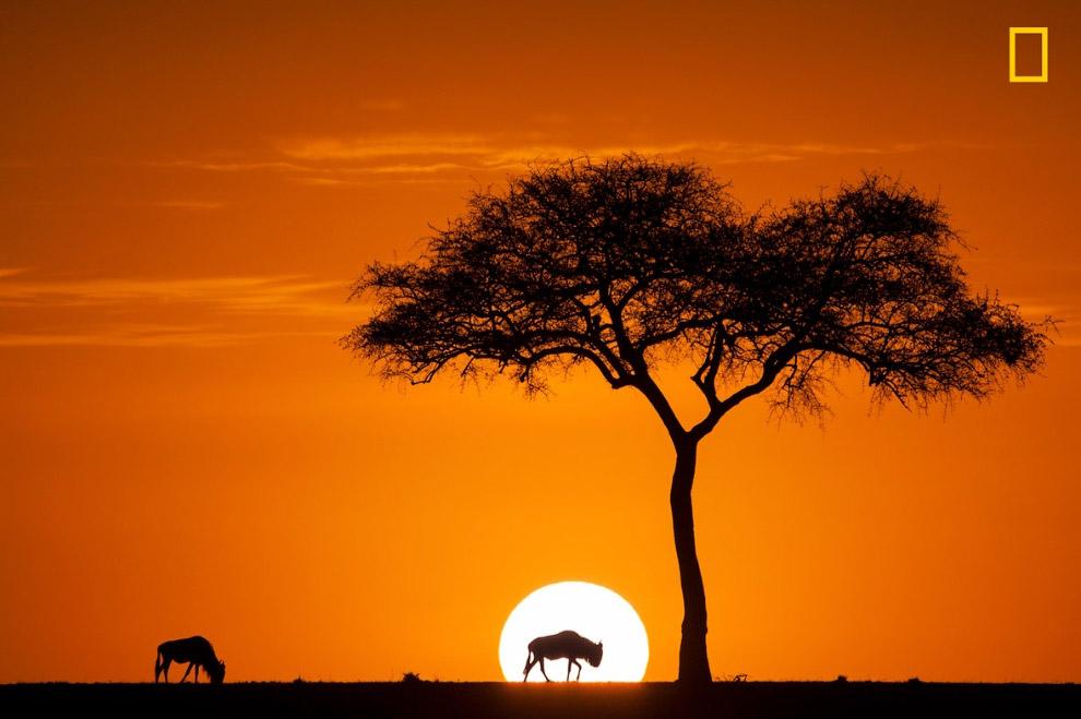 Антилопы гну в заповеднике Масаи-Мара на юго-западе Кении