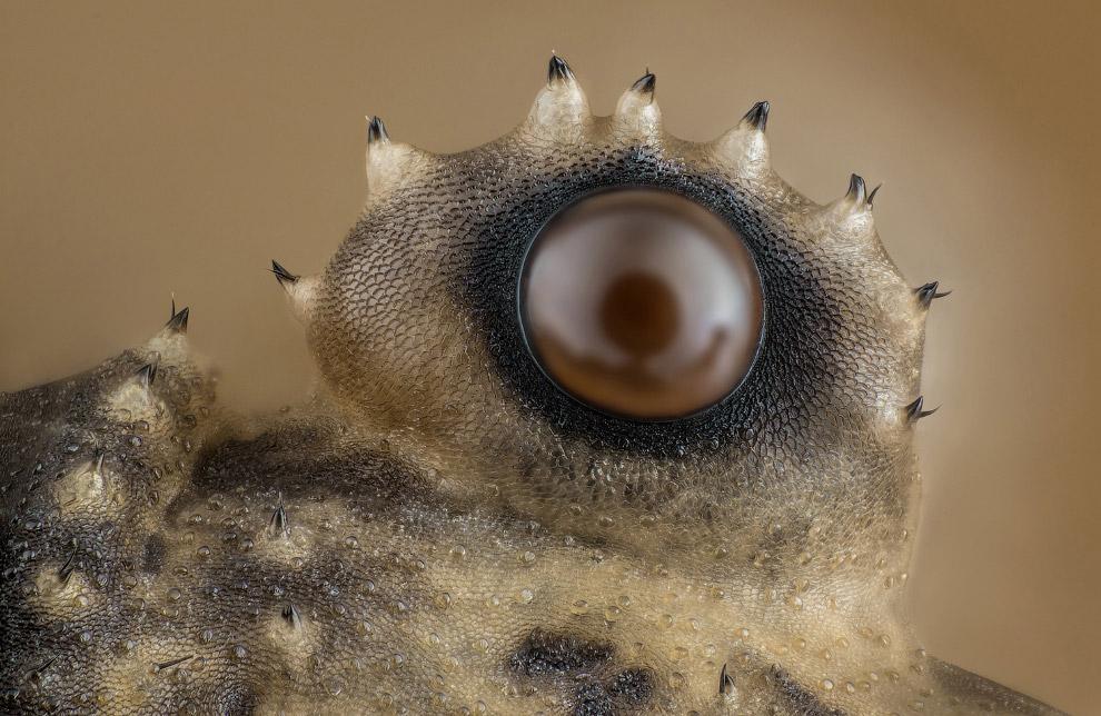 Глаз сенокосца из класса паукообразных