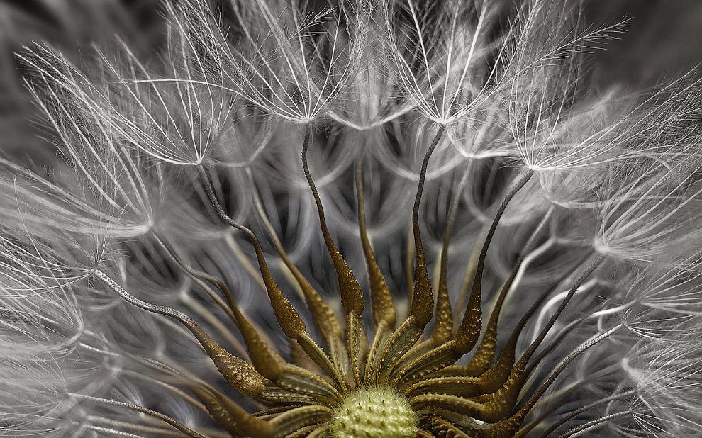 Растение крестовник обыкновенный