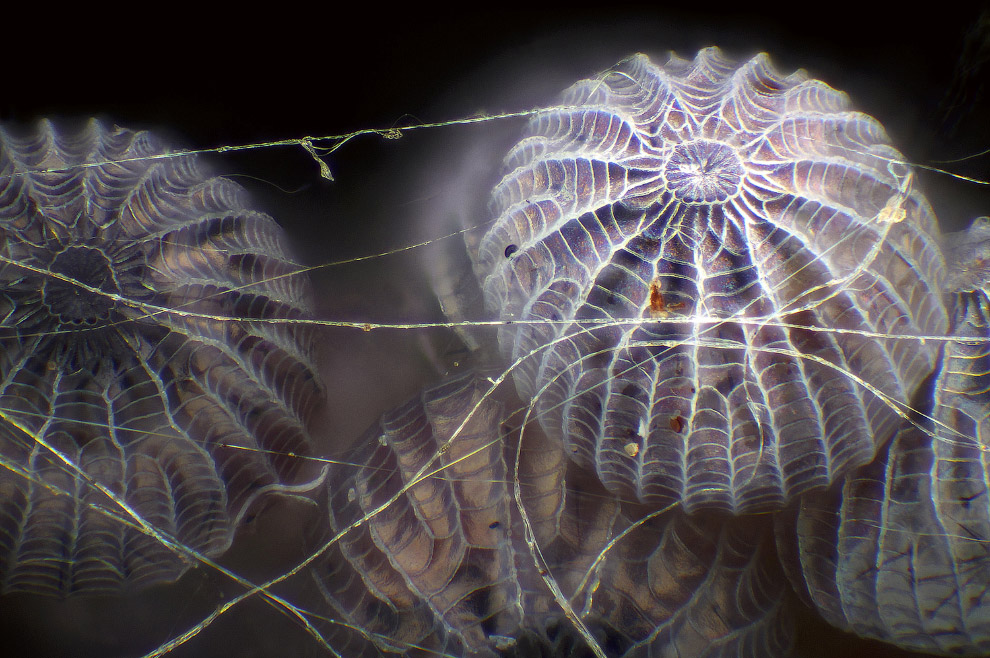 Яйца мотыля в паутине паука