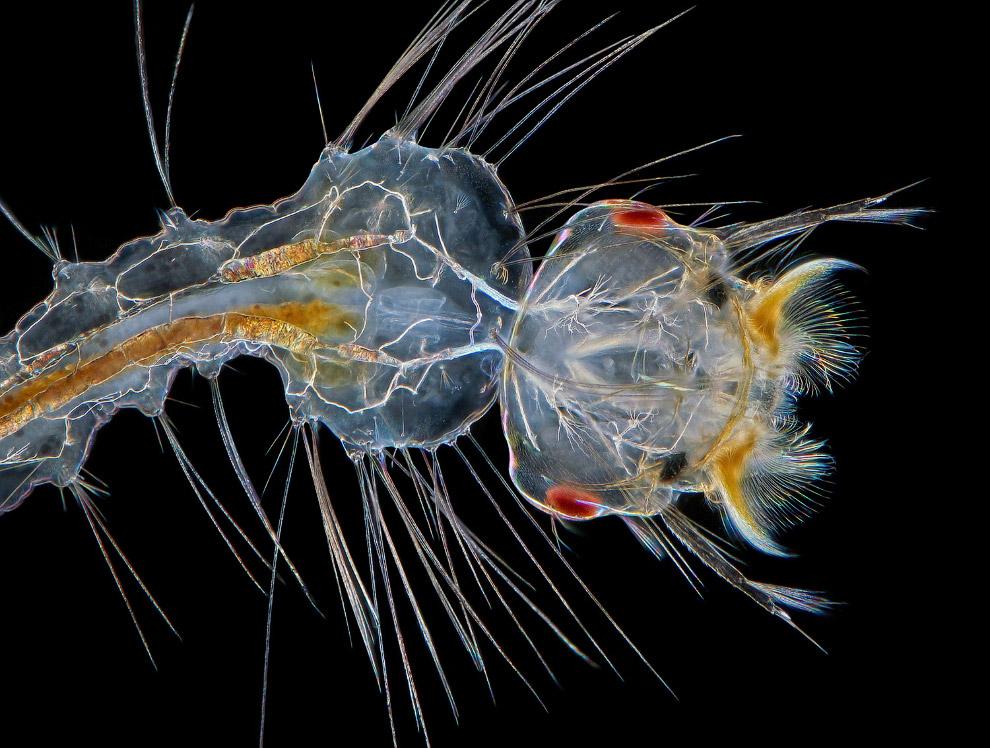 Раннее развитие личинки комара, увеличенное в 10 раз