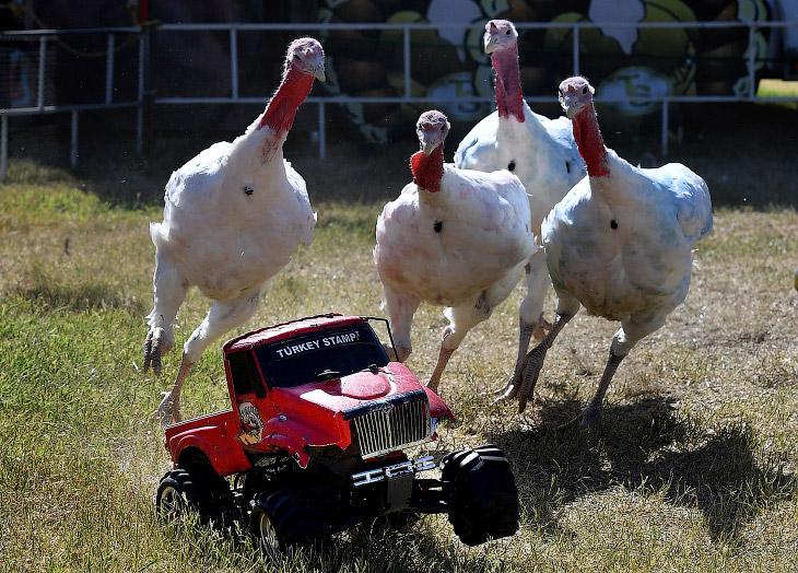 Каждый год, осенью в Калифорнии проводятся бега индеек