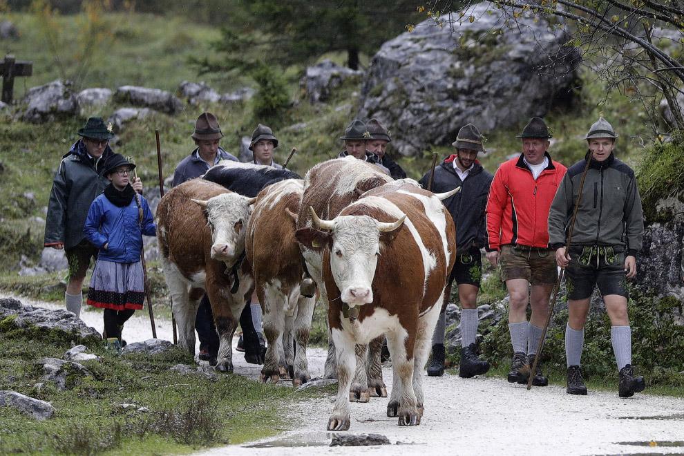 Коровки возвращаются домой с летних пастбищ