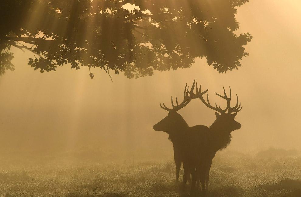 Туман и олени в Ричмонд-парке в Лондоне, Англия