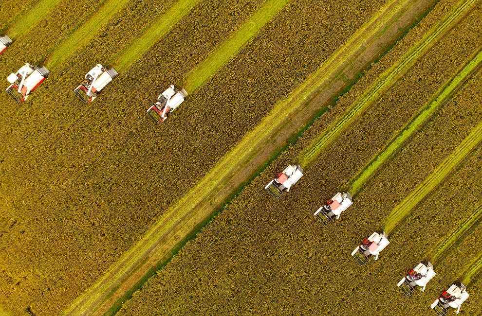 Китайцы трудятся, рис убирают