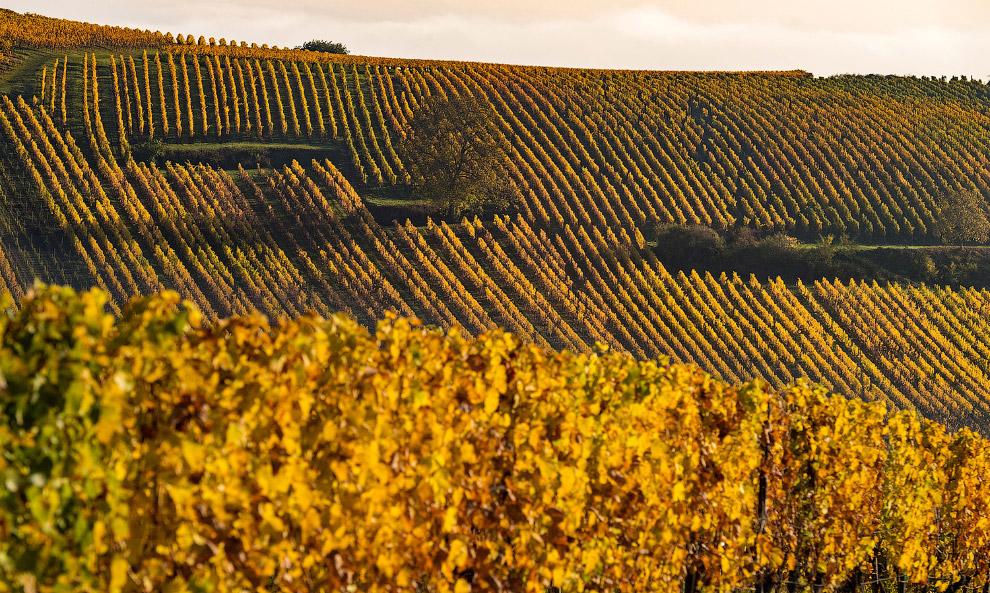 Виноградники в Вольксхайме, Франция