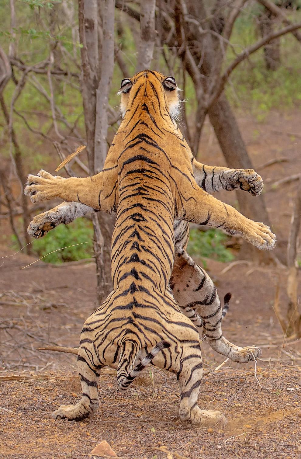 Борьба бенгальских тигров, Раджастхан, Индия