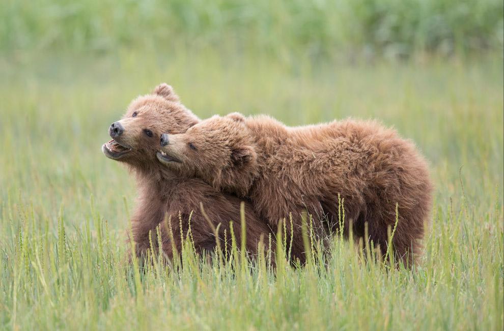 Медвежата, Национальный парк Лейк-Кларк, Аляска, США