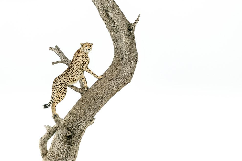 Спринтер-гепард, Национальный заповедник Масаи-Мара, Кения